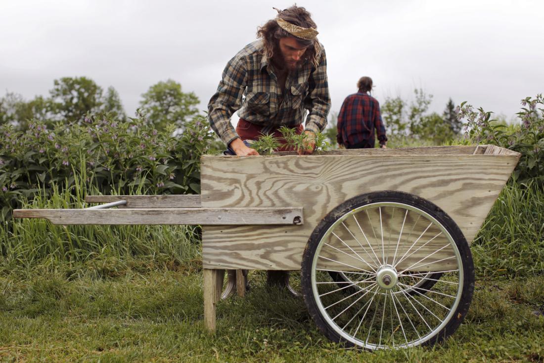 Zak Lee lifts hemp clones from a wheel barrow. Wild Folk Farm grows rice – and now hemp, too.