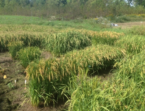 The Maine Rice Project: 2015